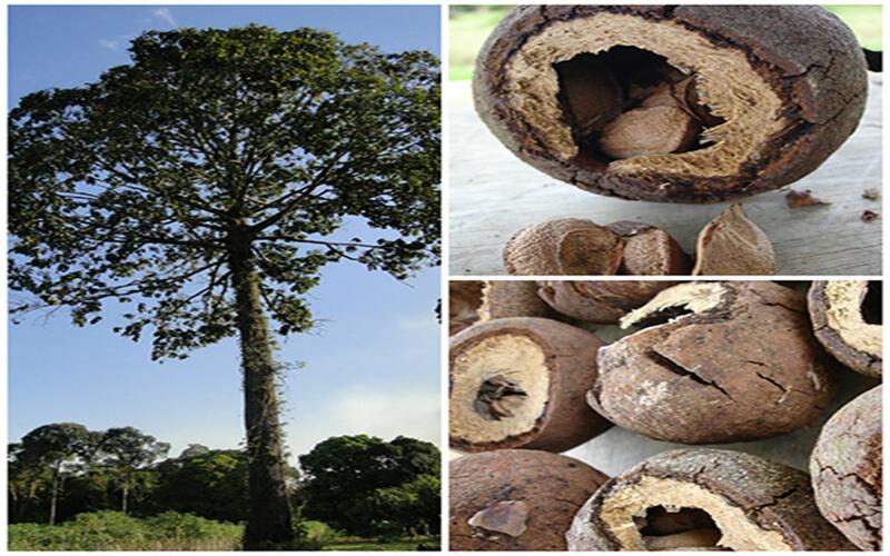 Arvore da Castanha do Pará.