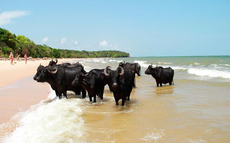 Curiosidades sobre a Amazônia. Maior rebanho bubalino está na Ilha de marajó.